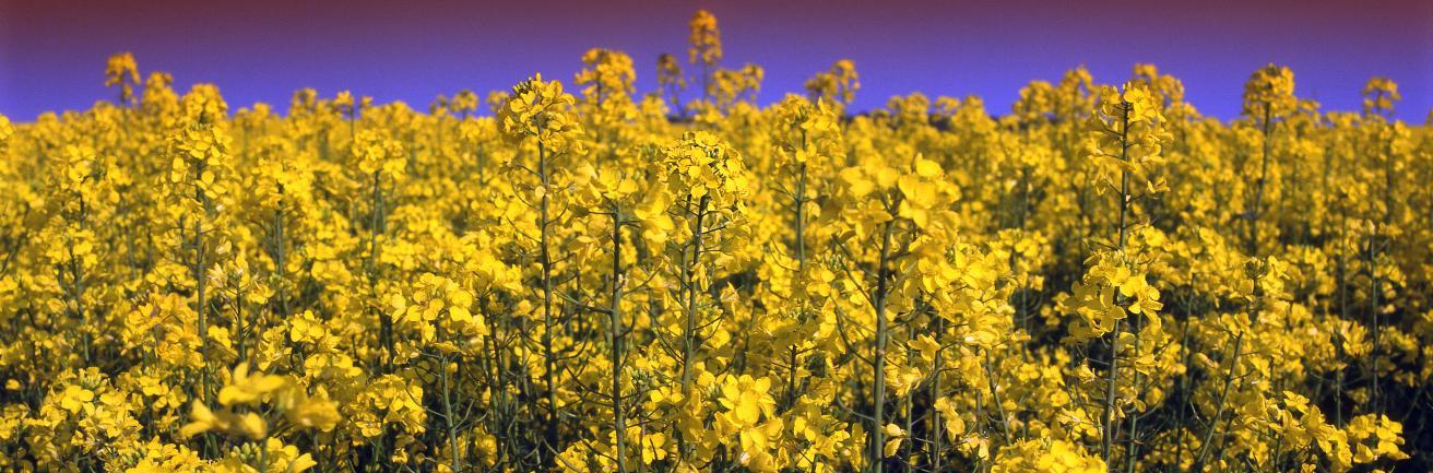 Koolzaadveld in bloei